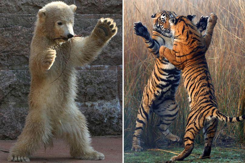 Bear Vs. Tiger